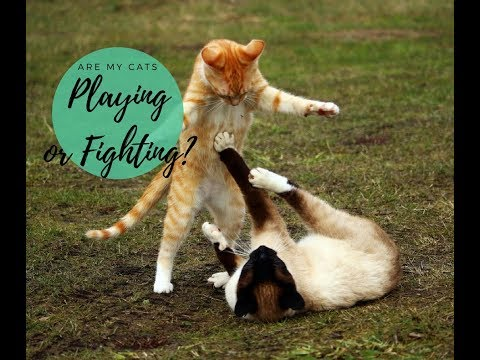 Cat Play vs. Cat Fight & How to Tell the Difference  Cute Cats Playing Together!  Cats and Cat Nip