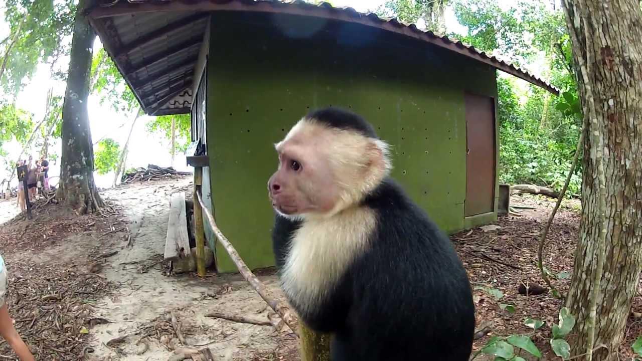 White Faced Capuchin Monkey At Manuel