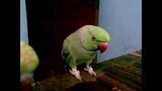 Talking parrot Minu