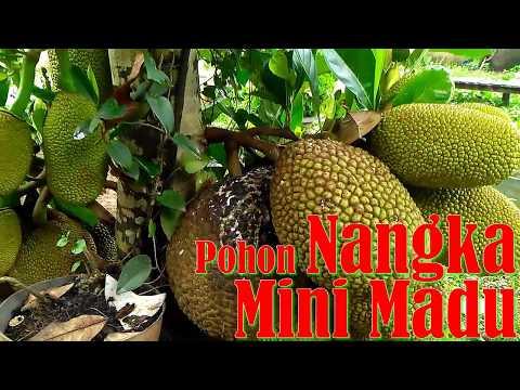 Lebatt Pohon Nangka Mini Madu Berbuah Lebat Cocok Untuk Tabulampot Youtube