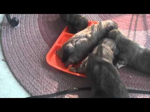 4 week old shorkie puppies eating wet food, CUTE!