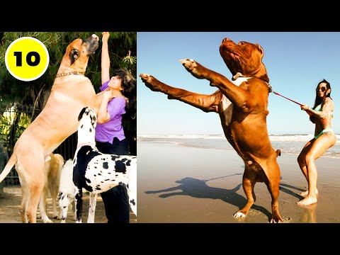 10 Abnormally Largest and Biggest dogs Breeds in the world