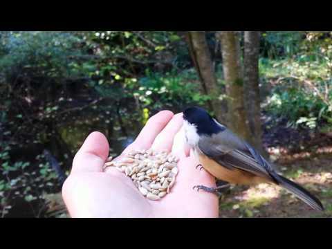 Slow Motion Birdfeeding Chickadees Eating Out Of My Hand Wild Birds Birdseed
