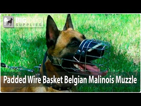 Beautiful Belgian Malinois Wearing Wire Basket Dog Muzzle