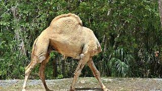 Video Headless Camel download MP3, 3GP, MP4, WEBM, AVI, FLV Juli 2018