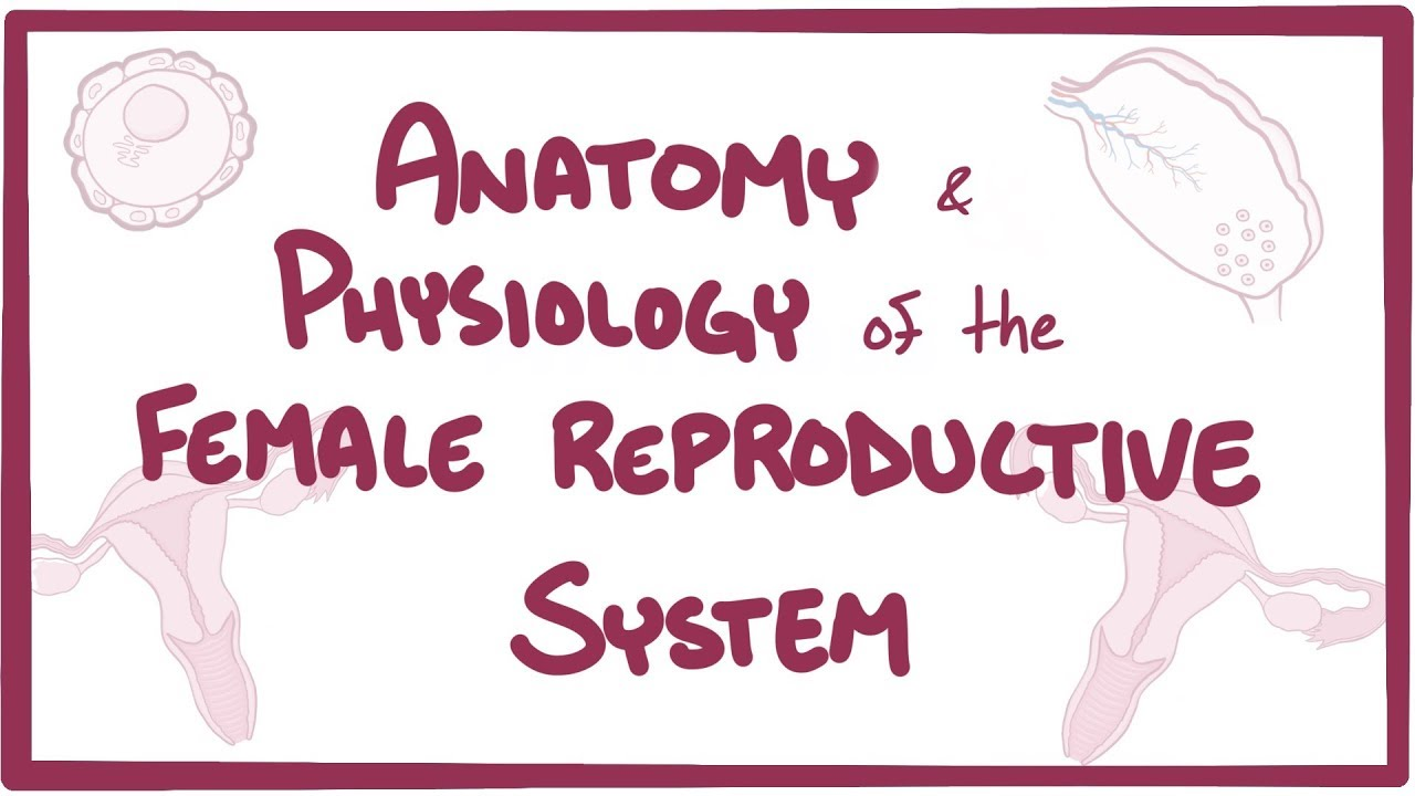 Anatomy and physiology of the female reproductive system - YouTube