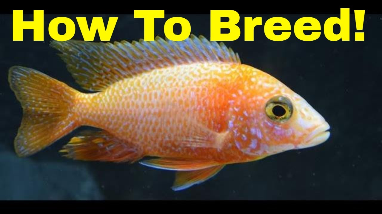 How To Breed African Cichlid Peacocks Youtube