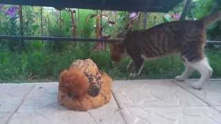 Frizzle Polish chicken and Cat / Мохнатая курица и хитрый кот - дачное