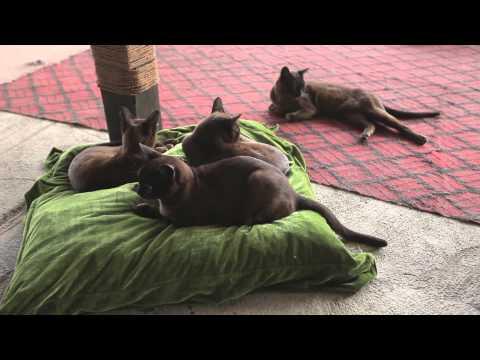 Burmese Cat - Reintroduction of The Royal Cats Back to Burma