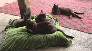 Burmese Cat  Reintroduction of The Royal Cats Back to Burma