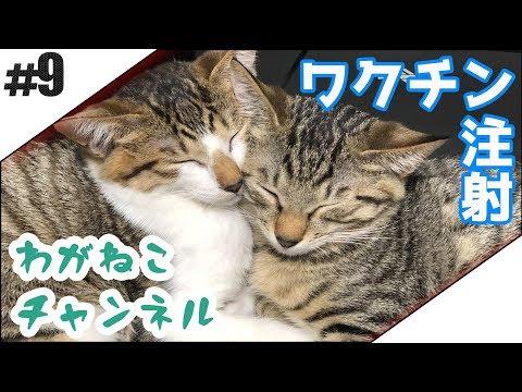 #9【吾輩】ワクチン注射【猫】
