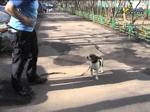 Как приучить собаку ходить рядом и не тянуть