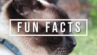The Royal Cat Of Siam | 10 Fun Facts About Siamese Cats