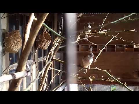 Aviary Breeding Blackthroat Ardian
