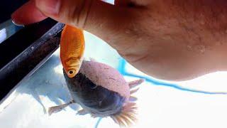 LIVE FEEDING for My MONSTER Aquarium FISH!
