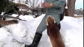 Красная Панда Обожает Яблоки / Red Pandas are obsessed with apple