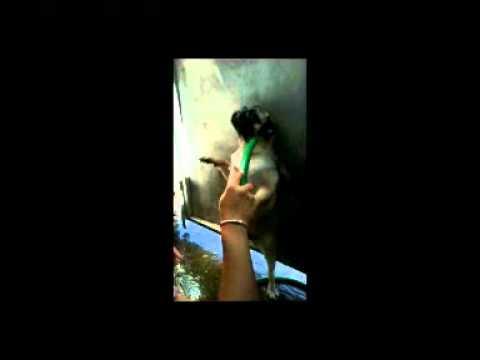 เฮงเฮงหมาปั๊กอาบน้ำ