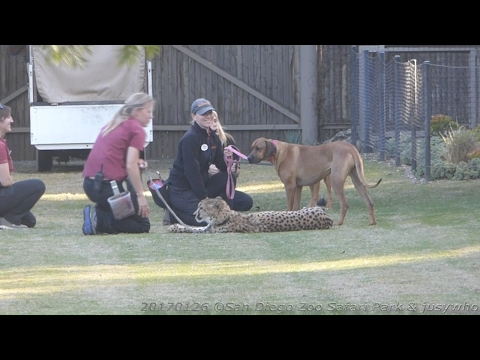 170126 San Diego Zoo Safari Park Shiley's Cheetah Run Ruuxz Raina