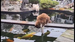 Cats At The Koi Pond, Unique Friendship (compilation video)