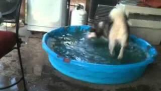 Siberian Husky In The Texas Heat