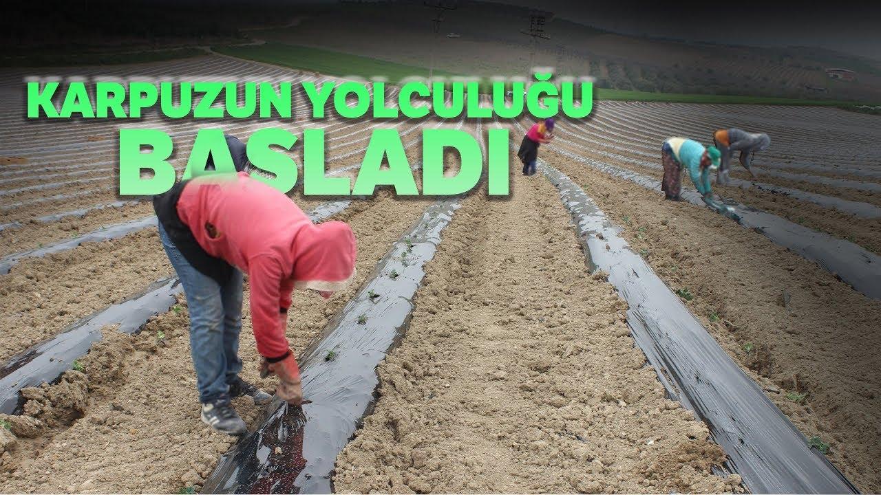 Karpuz Çekirdeği Çimlendirme - Watermelon Root Grassification