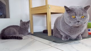 British Shorthair Battle of the Strawberry House