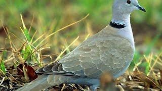Дикий голубь горлица Turtledove(, 2015-10-05T22:00:02.000Z)