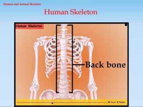 Know About Human Skeleton And Animal Skeleton Class 6 Science