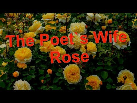 The Poet`s Wife Rose David Austin,  English  Roses