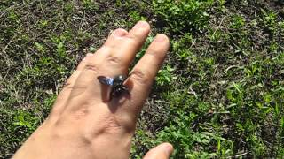 Пчела-плотник (Xylocopa valga) на руке. Bee (Xylocopa valga) on hand.