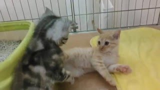 子猫の喧嘩動画です。とても可愛く癒される動画です。