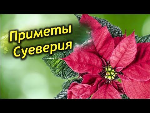 Что приносит  Пуансетия в дом? Рождественская звезда - приметы и суеверия.
