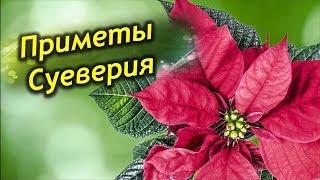видео Пуансеттия, молочай прекраснейший (Роinsettia pulcherrima Grah.)