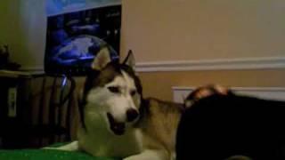 My Siberian Husky (apollo) And Shiba Inu Mix Puppy (indiana)