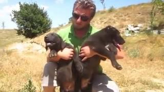 kangal samsun siyah çoban köpekleri yavruları05447143055