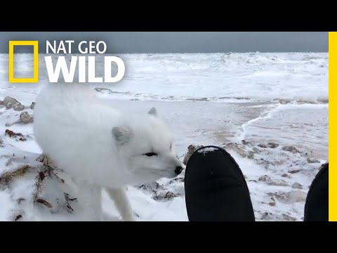 Come Face-to-Face With an Adorable Arctic Fox | Nat Geo Wild