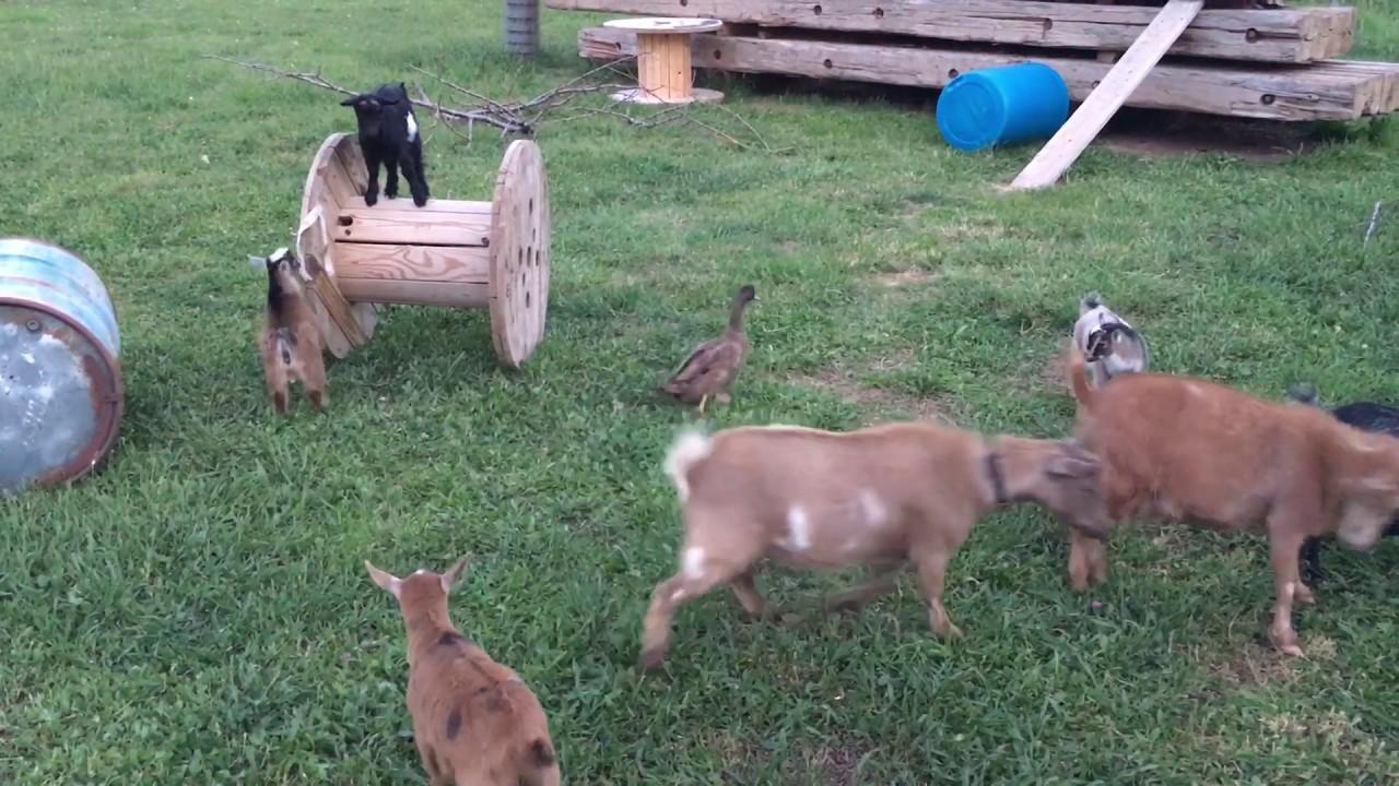 Cute Baby Goats! Running, Jumping, Climbing! - YouTube  Cute Baby Goats...