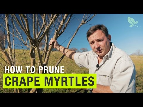 Prune Crape Myrtles