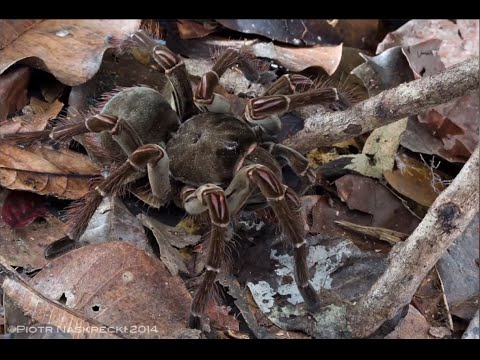 Goliath Spider Will Give You Nightmares