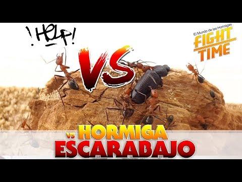 HORMIGAS VS ESCARABAJO | Hormigas Cataglyphis velox