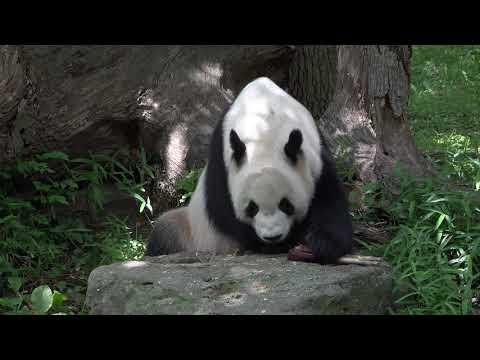Giant Panda Plays with Ice (Treat) Hockey Puck