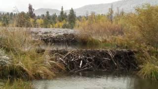 Beavers: Creators of Habitat