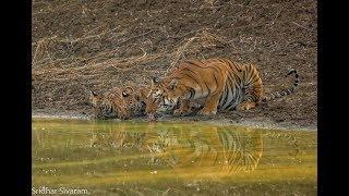 Tadoba - Maya and her Cubs