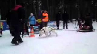 Weightpulling Собака тащит 535 кг по снегу