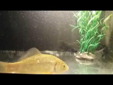 Gulper CatFish Eating Big Fish 18+