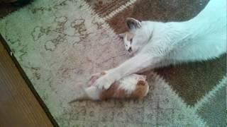 Yavru Kedinin Annesiyle Oyunu...Çooookkkkkk Tatlııııı!!!!!!