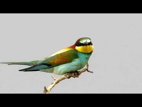 European Bee-eater (Merops apiaster) Μελισσοφάγος - Cyprus