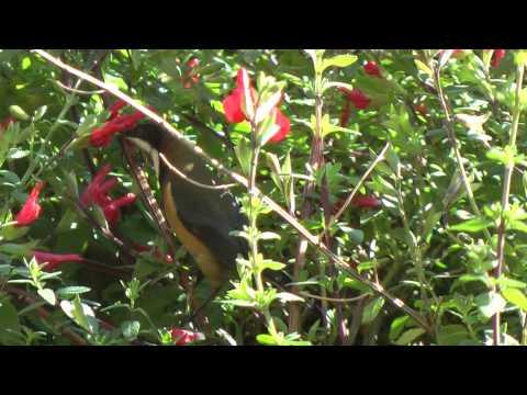 Australian Eastern Spinebill