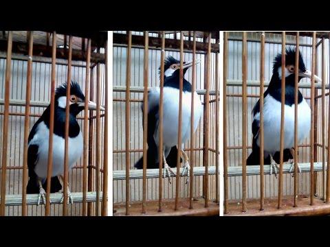 Burung Jalak BISA BICARA Seperti Manusia