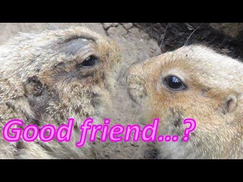 《Are they friends? Or .. 》Prairie Dog,zoo in Japan【あにまるきゃっち】